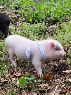 Mini Pig Harness - Dots