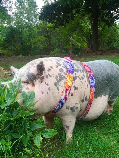 Wide Pig Harness