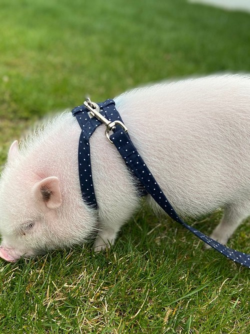 Pig Harness - All available Cotton